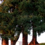 Redwood trees in Penry Park, Petaluma, CA